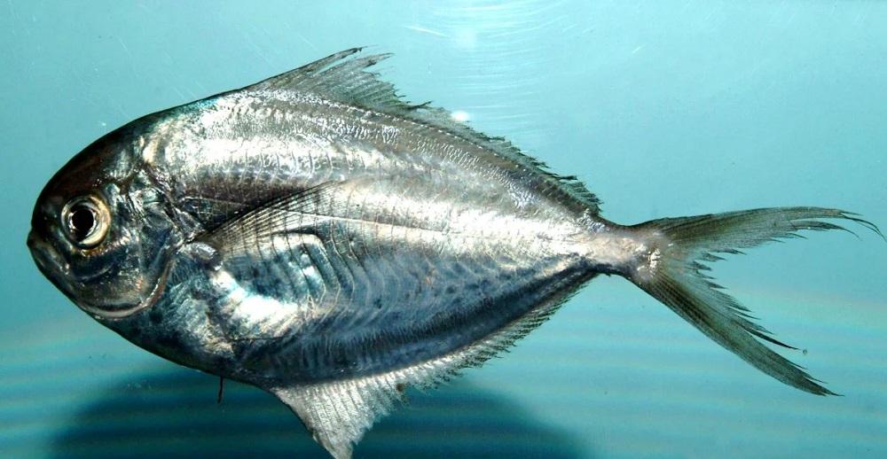 Масляная рыба живая