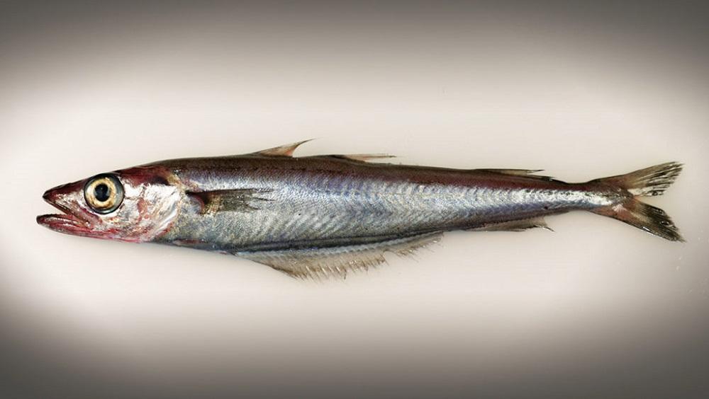 Рыба путассу