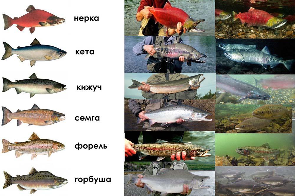Названия лососевых рыб